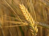 Barley twig — Stock Photo