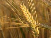 Barley twig — Stockfoto