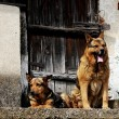 Dogs guarding — Stock Photo