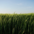 Stock Photo: Common wheat