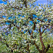 White blossom of apple trees — Foto de Stock
