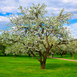 White blossom of apple trees — Stock Photo #2555394