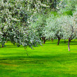 White blossom of apple trees — Stock Photo #2555496