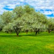 White blossom of apple trees — Stock Photo #2555518
