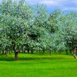 White blossom of apple trees — Stock Photo #2555651
