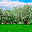White blossom of apple trees — Stock Photo