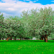 White blossom of apple trees — Stock Photo #2593638