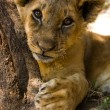 Lion cub portrait — Stock Photo