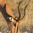 Grazing Impala — Stock Photo #1430642