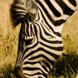 Royalty-Free Stock Photo: Grazing Zebra