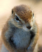 Ground squirrel close up — Foto Stock