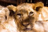Aslan yavrusu portre — Stok fotoğraf