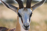 Close up of a male springbok in etosha National Park Namibia — Stock Photo