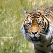 Stalking Tiger — Stock Photo #1592890