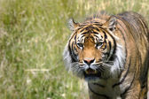 Stalking Tiger — Stock Photo
