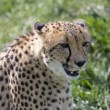 Cheetah — Stock Photo #1638428