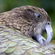 Stock Photo: Kea