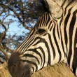 Head of a zebra — Stock Photo