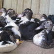 Stockfoto: Resting ducks!