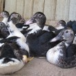Stock Photo: Resting ducks!