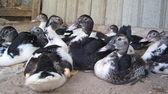 Canards au repos! — Photo