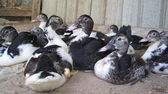 Oturan ördekler! — Stok fotoğraf