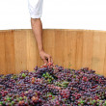 Hand holding a grape — Stock Photo