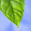 Green leaf with water drops — Stock Photo #1429508