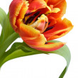 Red tulip closeup — Stock Photo