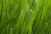 Macro of grass with dew — Stock Photo