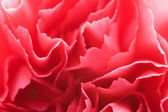 Macro of carnation petals — Stock Photo