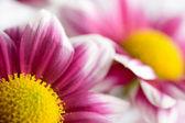 Macro of colorful daisies — Stock Photo