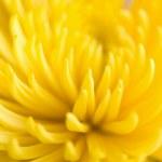 macro da flor crisântemo amarelo — Foto Stock #1460117