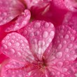 Pink geranium flowers with water drople - Stock Photo