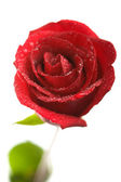Red fresh rose isolated — Stock Photo