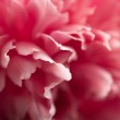 Abstract pink peony flower background — Stock Photo