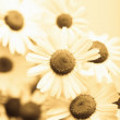 Stock Photo: Chamomile flowers toned yellow