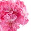 Macro of pink geranium flower — Stock Photo