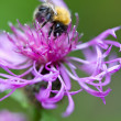 Bumblebee on pink flower — Stock Photo