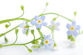 Forget me not flower isolated — Stock Photo