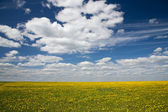 Field of dandelions and blue sky — Stock Photo