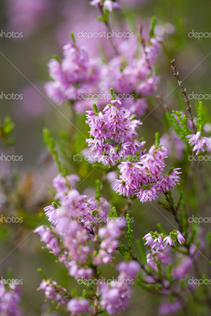 Heather field background — Stock Photo #1700539