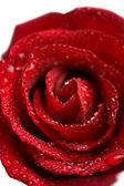 Beautiful red rose with water droplets — Stock Photo
