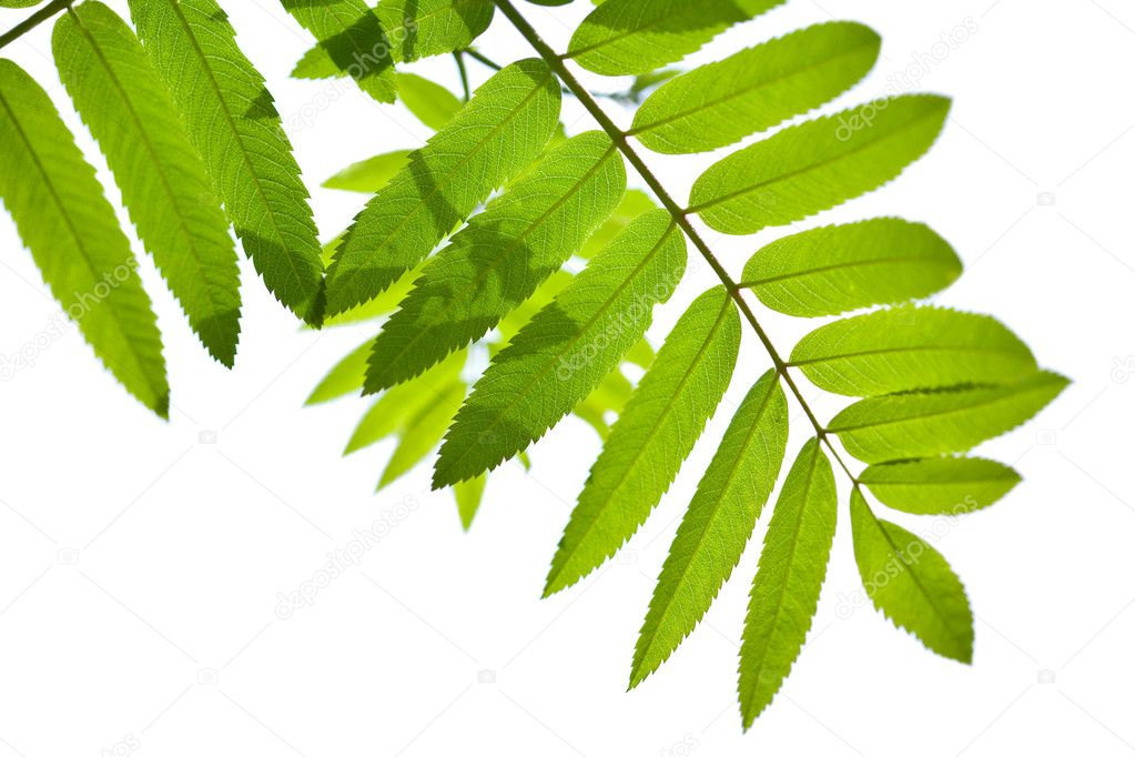 Rowan leaves isolated — Stock Photo #1716882
