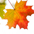 Colorful autumn leaves isolated — Foto de Stock