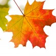 Colorful autumn leaves isolated — Stock Photo