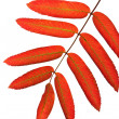 Autumn red rowan leaves isolated — Stock Photo #1753803