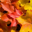 Coloful maple leaves background — Stock fotografie