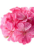 Macro of pink geranium flowers — Stock Photo