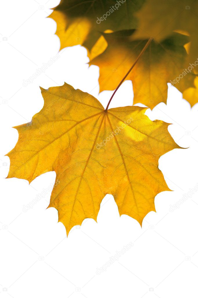 Yellow maple leaves isolated — Stock Photo #1753594